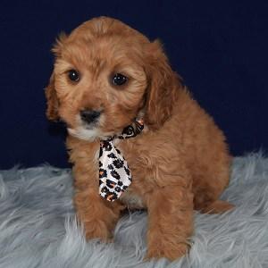 Cavapoo puppies for Sale in VA