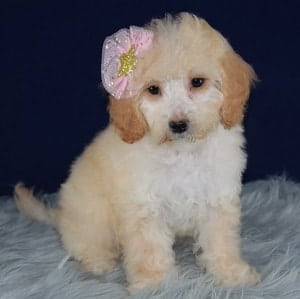 Bichonpoo puppies for sale in NJ