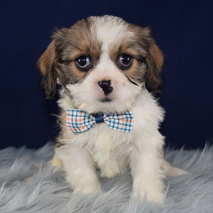 Cava Tzu puppies for sale in NJ