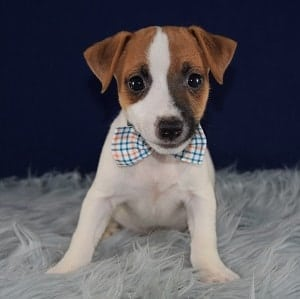 Puppies for Sale in PA | Ridgewood's Puppy Adoptions
