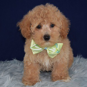 Lhasapoo puppies for sale in NY