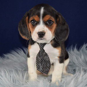 Beagle Mix Puppies for sale in PA