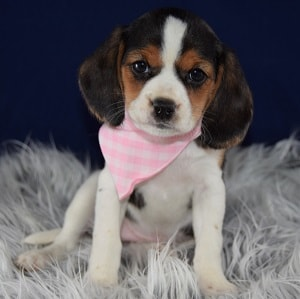 Beagles Mix puppies for sale in PA