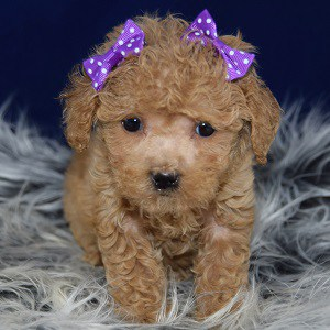 Bichonpoo puppies for sale