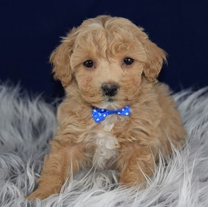 Bichonpoo Puppies for Sale in PA
