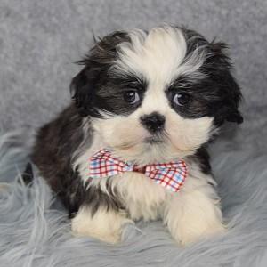 Shih Tzu Puppies For Sale in PA | Shih Tzu Puppy Adoptions