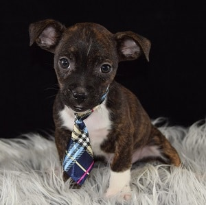 BoJack Puppies for Sale
