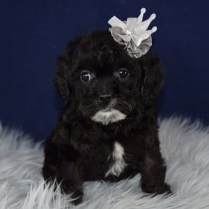 Cavapoo puppies for sale in NY