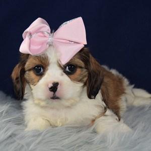 CavaTzu puppies for Sale in PA