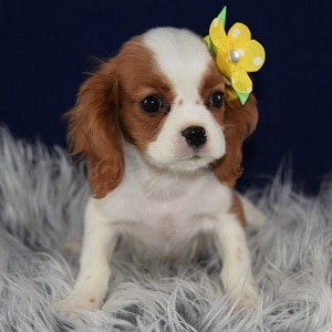 King Charles Cavalier puppies for Sale in PA