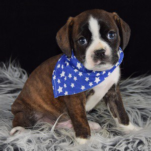 Caviston Puppies for Sale