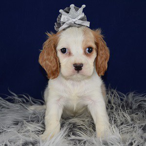 Cockalier puppies for Sale in PA