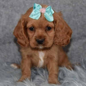 Cocker mixed puppies for sale