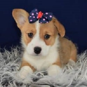 Puppies For Sale In Pa Ridgewoods Puppy Adoptions