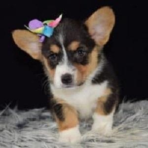 Mini Corgi Puppies For Sale >> Corgi Puppies For Sale In Pa Ridgewood Corgi Puppy Adoptions