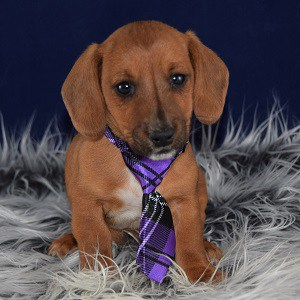 Dachshund Mixed Puppies For Sale In Pa Dachshund Mix Puppy Adoption