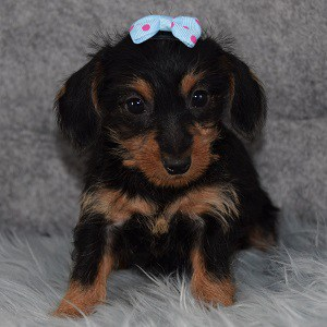dachshund mixed puppies