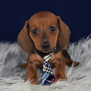 Dachshund Puppies For Sale In Pa Dachshund Puppy Adoptions