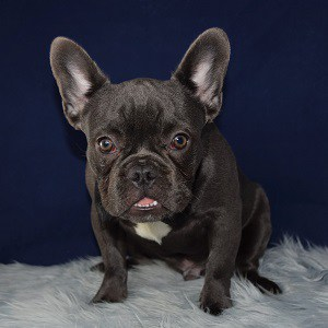 Frenchie puppies for sale in PA