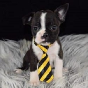 frenchton puppies for sale in PA