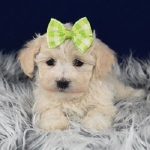havachon puppies for sale in PA
