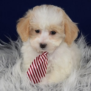 havapoo puppies for sale in PA