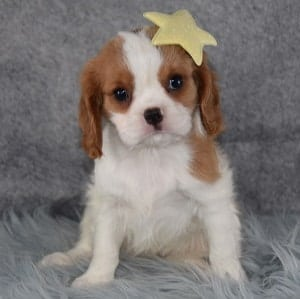 Female Cavalier Puppy For Sale Mercy Puppies For Sale In Pa Nj Wv Ny
