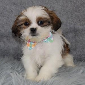 Shih Tzu Puppies For Sale In Pa Shih Tzu Puppy Adoptions