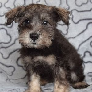 Schnauzer puppies for sale in PA