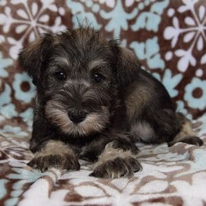Schnauzer puppies for sale in NY