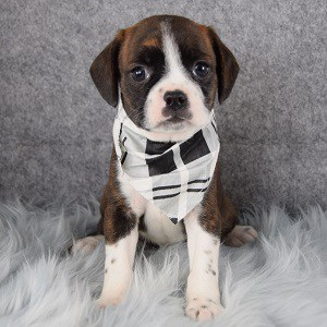 Caviston Puppies for Sale in DE