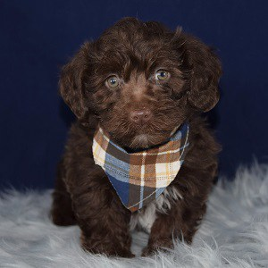 yorkichon puppies for sale in NJ
