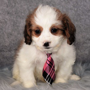 cavalier mixed puppies for sale in MD