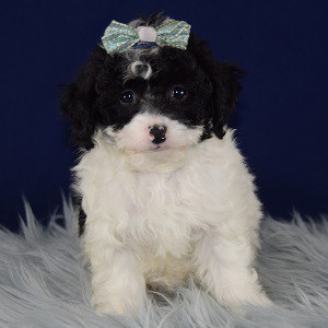 Havapoo Puppies For Sale In Pa Havapoo Puppy Adoptions