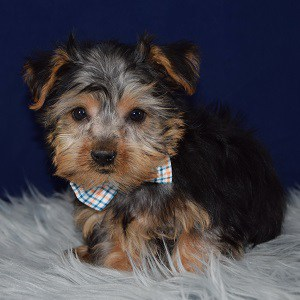 Yorkie puppies for sale in MD