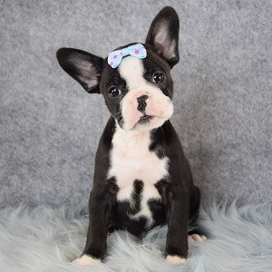 Frenchton Puppies For Sale Frenchton Puppy Adoptions