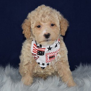 Bichonpoo puppies for sale in DE