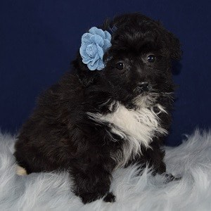 Shihpoo puppies for sale in DC