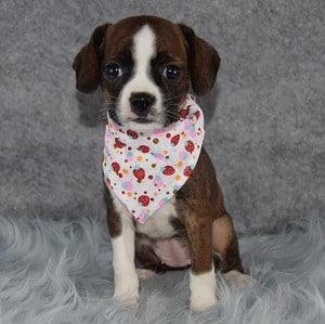 Caviston Puppies for Sale in PA