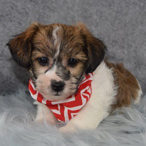 Jack Tzu puppies for Sale in MD