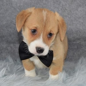 Corgi puppies for sale in PA