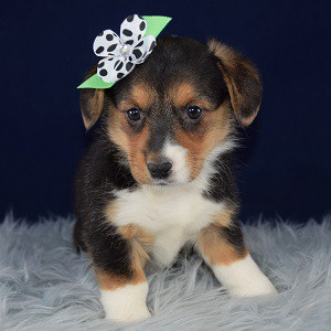 corgi puppies for sale in DE