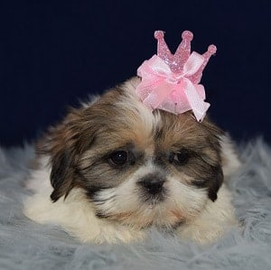 Shih Tzu puppies for sale in VA