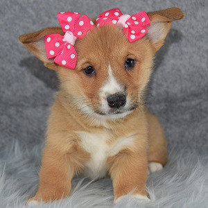 Corgi puppies for sale in NY