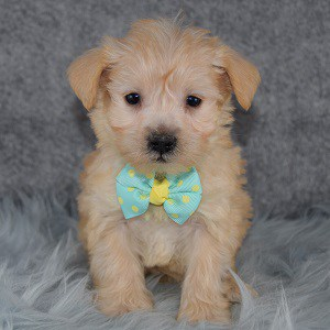 schnoodle adoptions in CT