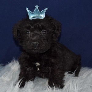 schnoodle adoptions in PA