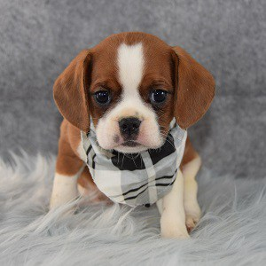 cavalier mixed puppies for sale in PA