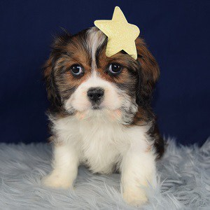 cava tzu puppies sale in DE