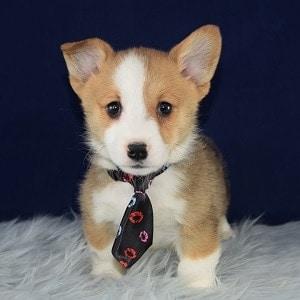 Corgi puppies for sale in DE