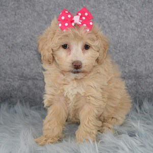 Bichonpoo puppies for sale in CT